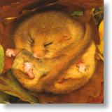 sendacard.co.uk blank card dormouse bbc springwatch