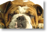 English Bulldog, Postcard