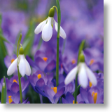 Crocuses and Snowdrops, Floral Blank Card