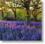 Meadow of Camassia, Scenic Blank Card