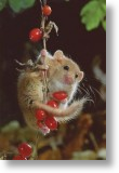 Acrobatic Dormouse