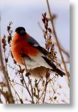 Bullfinch, Animal Blank Card