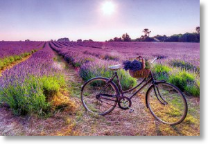 Lavender Field With Bicycle