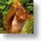 Peepo!  Red Squirrel